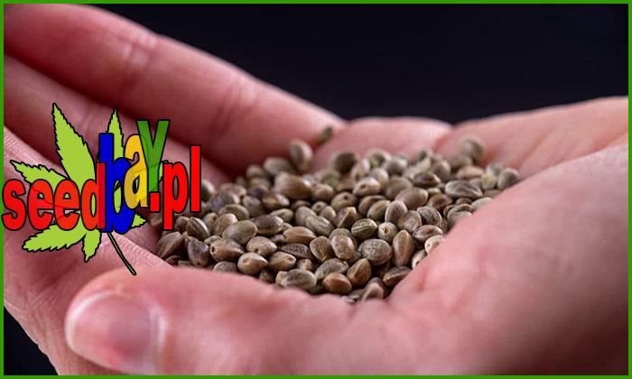nasiona marihuany, konopi, rodzaje, feminizowane, regularne, auto