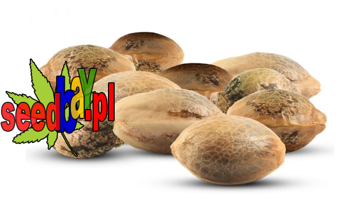 seedbay, nasiona marihuany, promocja tygodnia