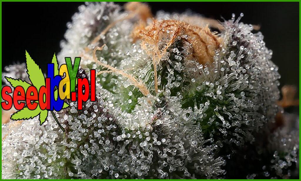 trichomy roślin konopi indyjskich, trichom marihuany
