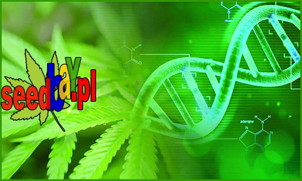 Cannabis, Ewolucja, Indica, Konopi, Marihuany, Nasiona, Odmian, Sativa, SeedBanków, Sinsemilla