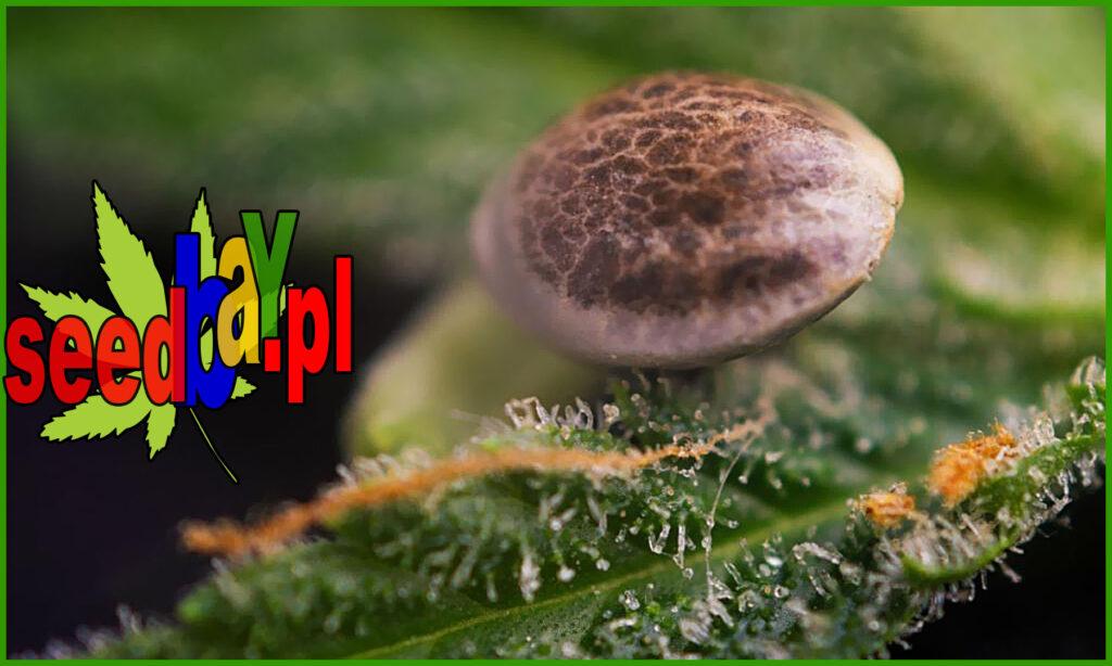 czy nasiona marihuany są legalne