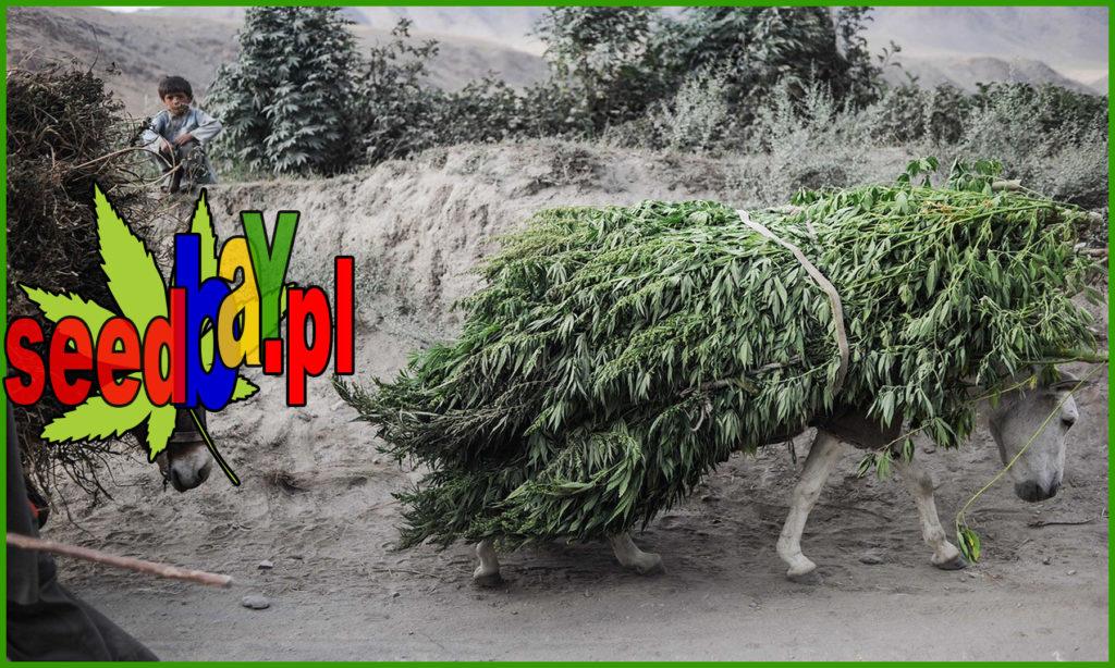 Haszysz, Marihuana, THC