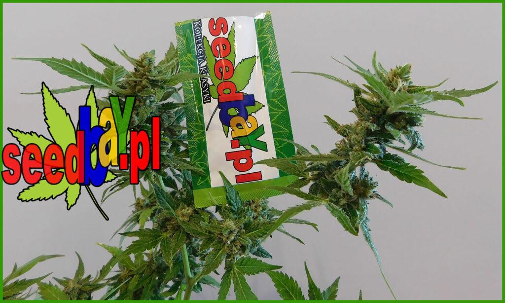 nasiona marihuany i konopi o co z nimi chodzi
