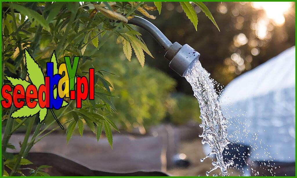 flushing, czyli płukanie konopi dla poprawy smaku
