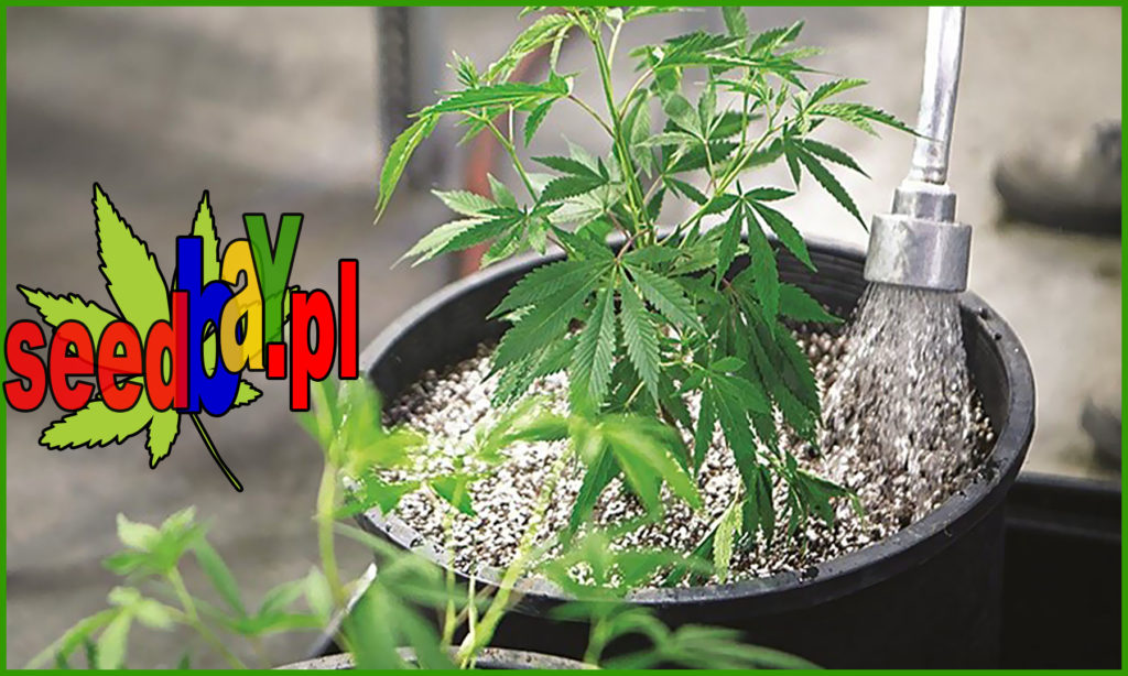 Podlewanie, Nawadnianie, Jak Nawadniać, Jak Podlewać, Roślin Konopi, Rośliny Marihuany, Hodowla