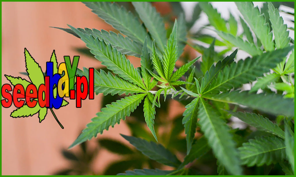 Uprawa, Hodowla, Marihuany, Konopi, Zwalczanie, Przestępczość