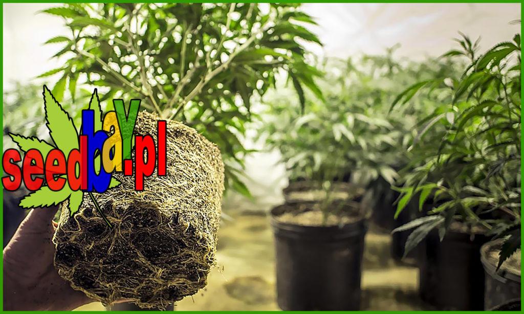 Jakiej Wielkości, Pojemniki, Doniczki, Uprawie Marihuany, Uprawie Konopi